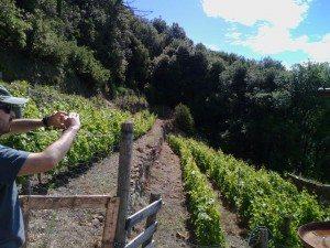 campiglia vigne7